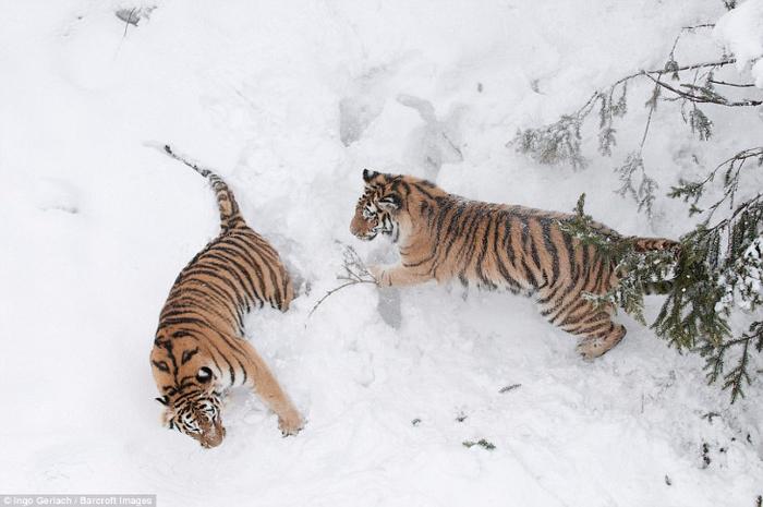фото амурских тигров 4 (700x465, 246Kb)