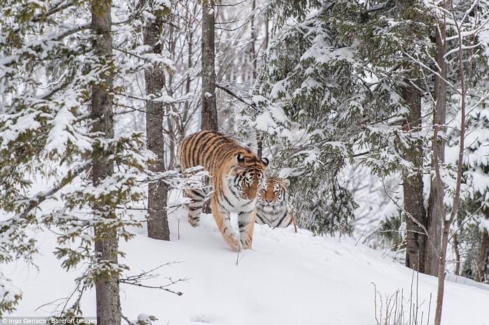 фото амурских тигров 6 (700x465, 449Kb)
