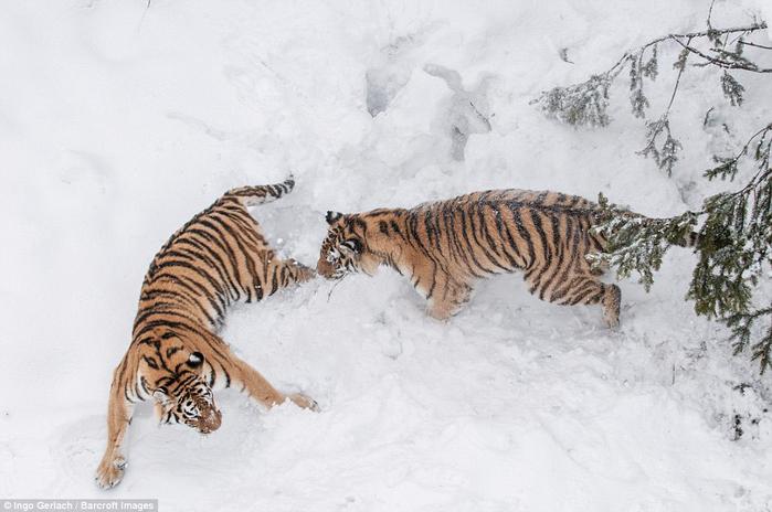 фото амурских тигров 7 (700x464, 263Kb)