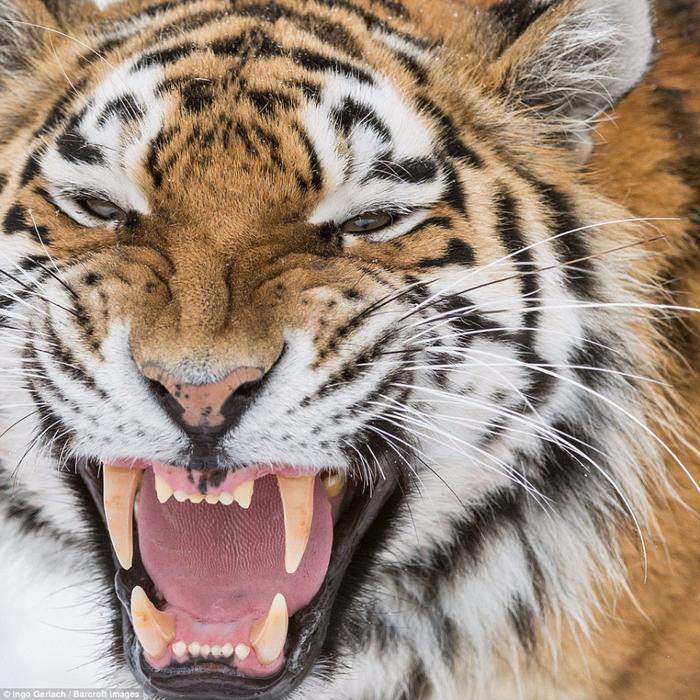 фото амурских тигров 9 (700x700, 612Kb)