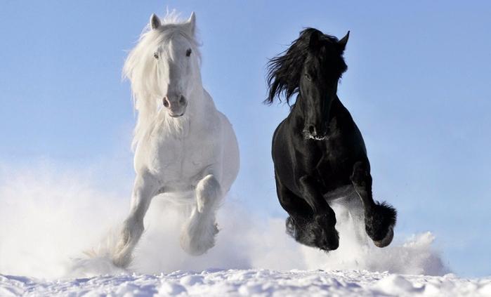 6-Белая и черная лошади эффектно бегут по снегу (700x423, 213Kb)