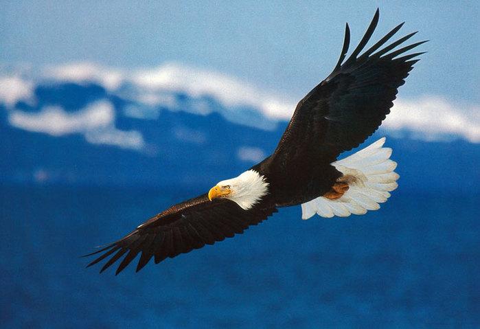 5326834_USA_bald_eagle (700x479, 62Kb)