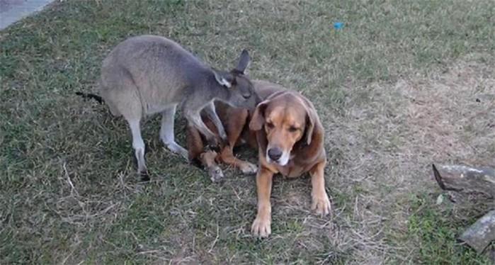 Кенгуру влюбилась в собаку   видео странной любви животных