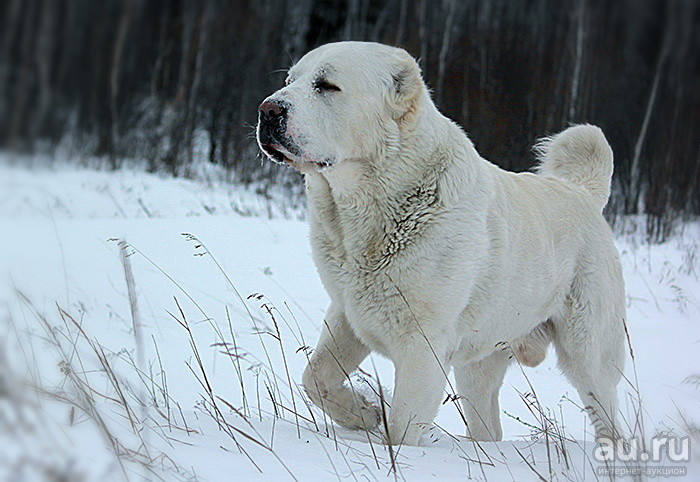 алабай собака фото цвет википедия перемещать