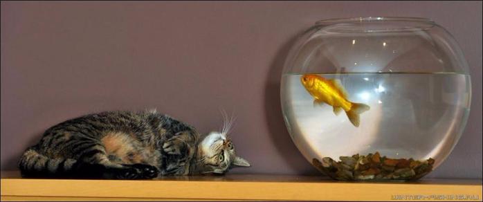cat-goldfish-03 (700x292, 146Kb)