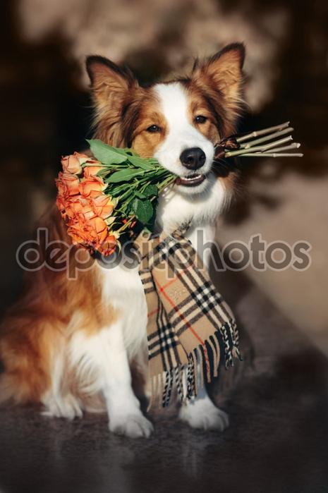 depositphotos_68772587-stock-photo-red-border-collie-dog-holding (465x700, 283Kb)