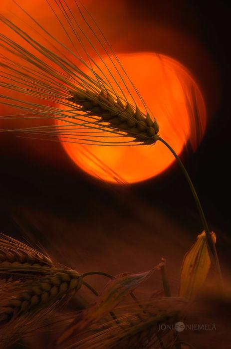 2. Пшеничное поле (463x700, 217Kb)