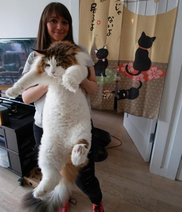 Кот Самсон породы мэйн - кун - самый большой в Нью-Йорке/3509984_1_1_1_ (601x699, 102Kb)