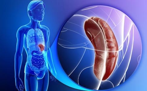 Селезенка — «сердце» лимфосистемы нашего тела (486x300, 23Kb)