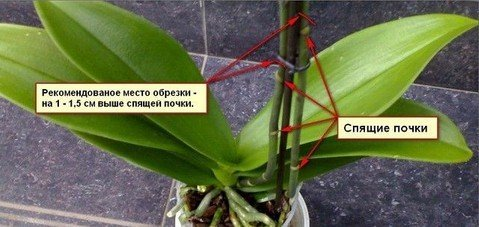 орхидея (479x227, 34Kb)