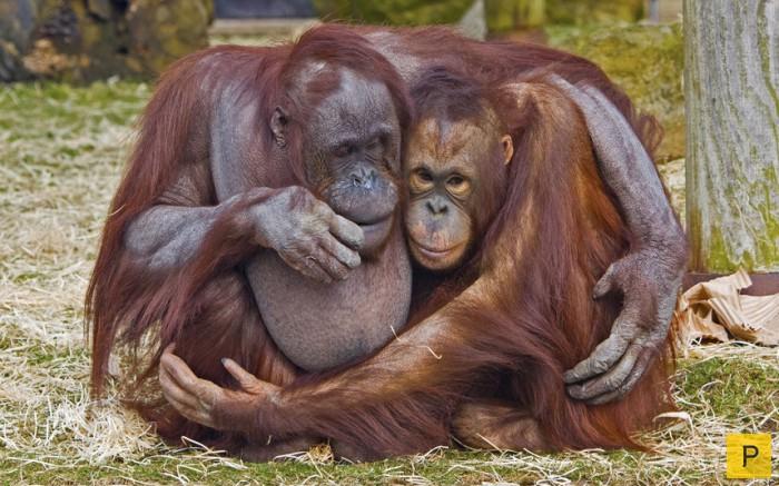 любовь орангутанги (700x437, 338Kb)