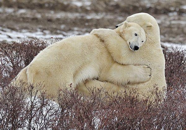 любовь медведи (600x419, 254Kb)