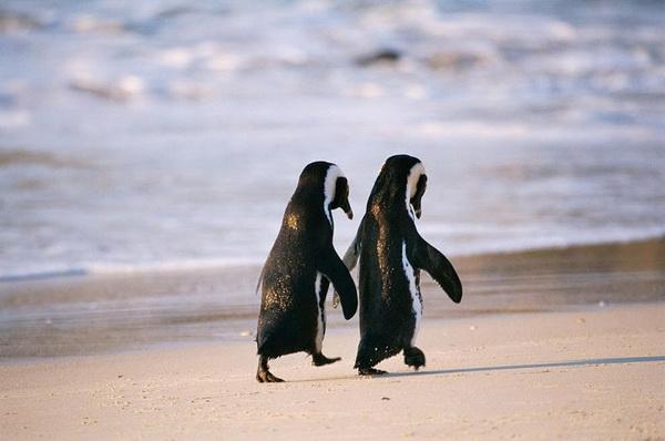 любовь пингвины (600x398, 158Kb)