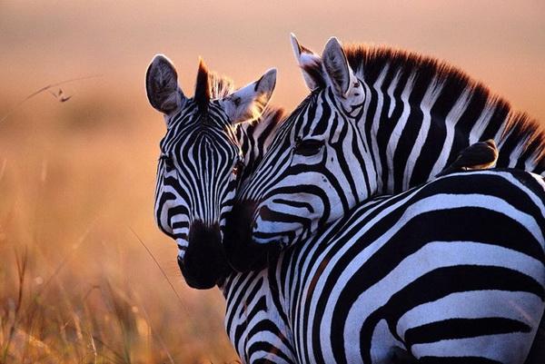 любовь зебры (600x401, 237Kb)