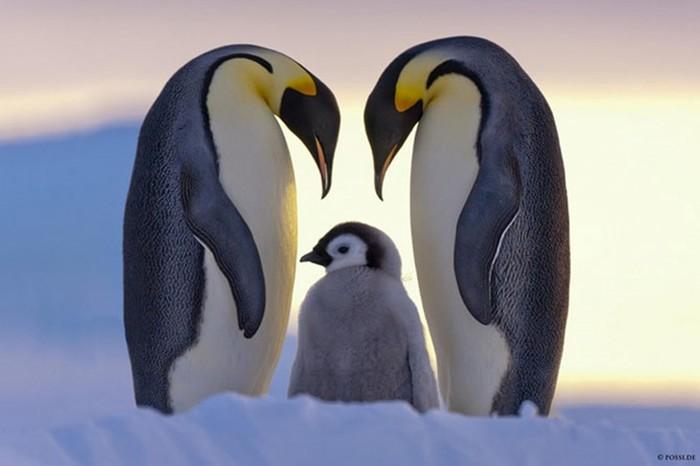 Пингвины   это ласточки, которые ели после шести (смешные фото с подписями)