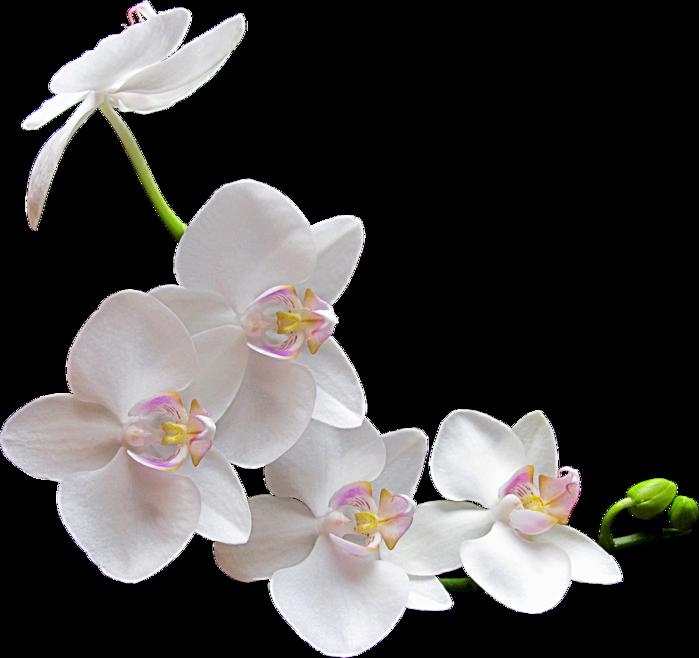 Flower-Clipart-White-Orchids (700x658, 340Kb)