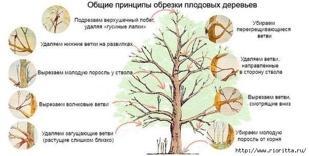 Принципы обрезки плодовых деревьев. (604x306, 124Kb)