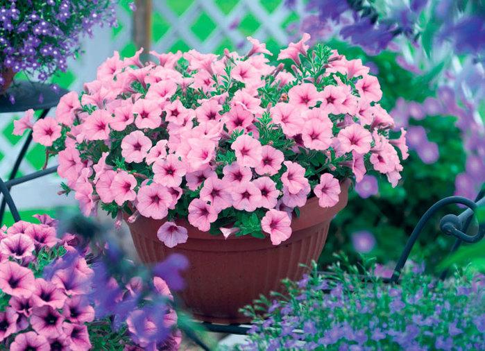 Sweet-Petunia (600x406)