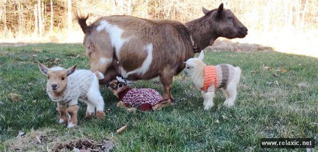 baby_goats_04 (640x307, 54Kb)