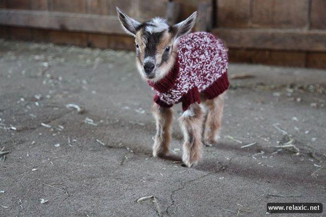 baby_goats_02 (640x427, 48Kb)