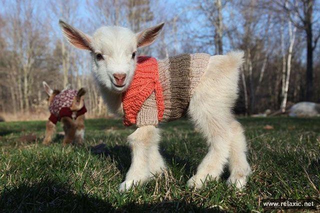 baby_goats_01 (640x427, 60Kb)