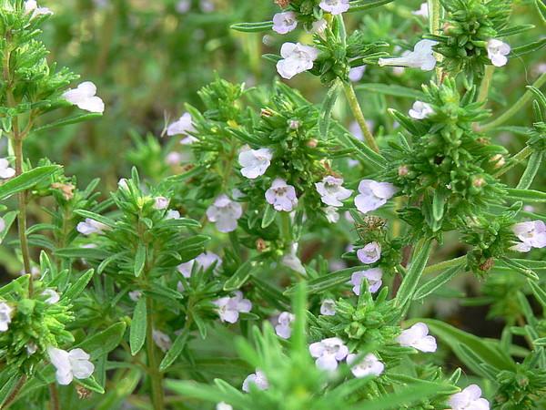 chaber-sadovyj-satureja-hortensis-2 (600x450, 119Kb)