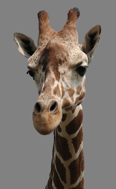 tete_girafe_transparence (396x640, 254Kb)