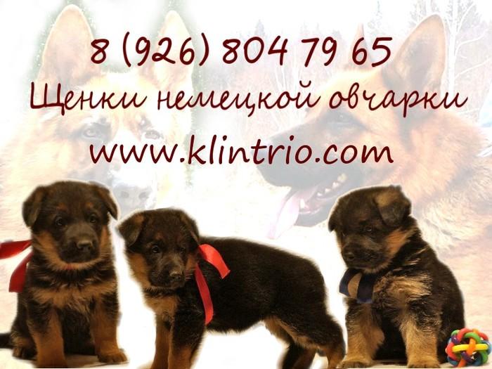 5079162_Shenki_nemeckoi_ovcharki (700x525, 98Kb)