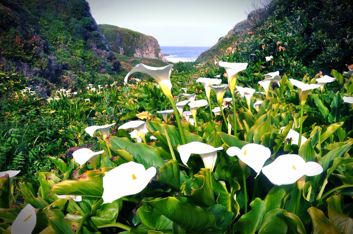 Calla-Lily-Valley1 (700x464, 518Kb)