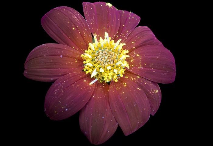 6108242_craig_burrows_fluorescent_flowers_6 (700x480, 55Kb)