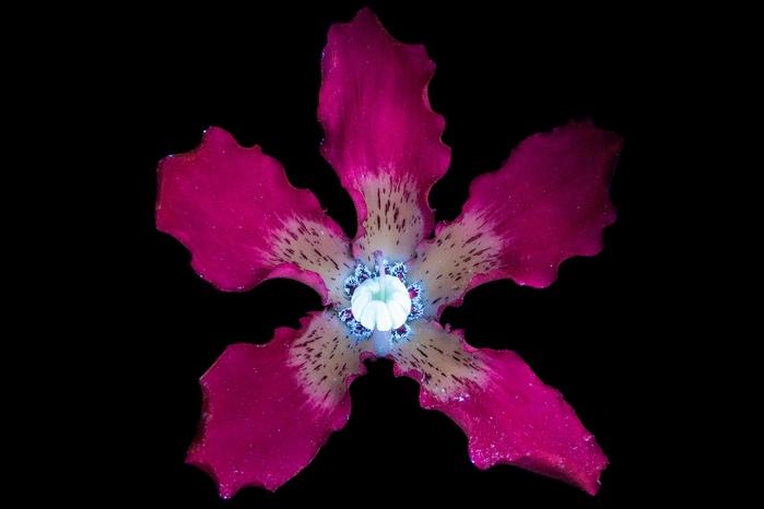 6108242_craig_burrows_fluorescent_flowers_2 (700x466, 60Kb)