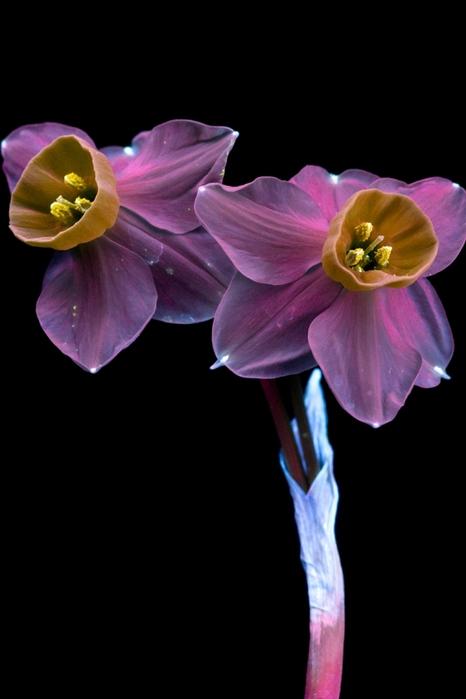 6108242_craig_burrows_fluorescent_flowers_19 (466x700, 91Kb)