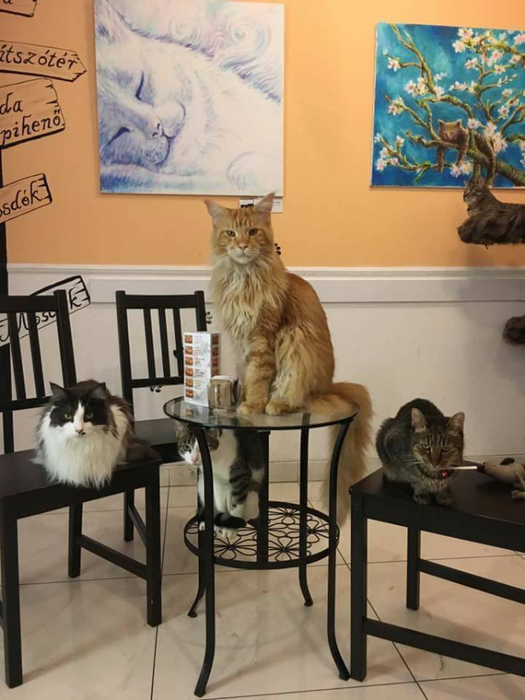 кафе с кошками будапешт 2 (525x700, 312Kb)