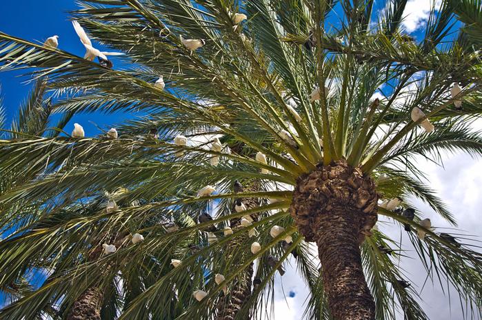 пальмовые рощи эльче 4 (700x464, 617Kb)