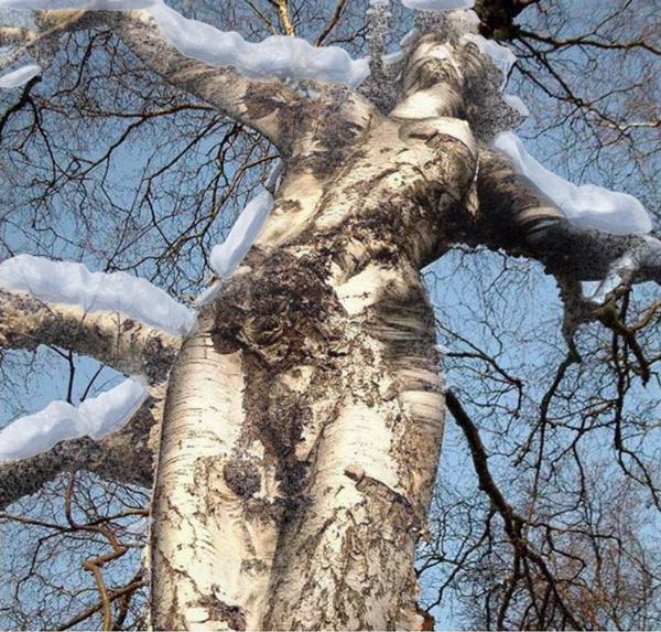 береза-в-снегу (600x573, 549Kb)