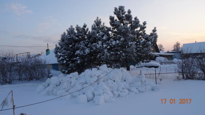 DSC01057сосны за снежным валом (700x394, 90Kb)