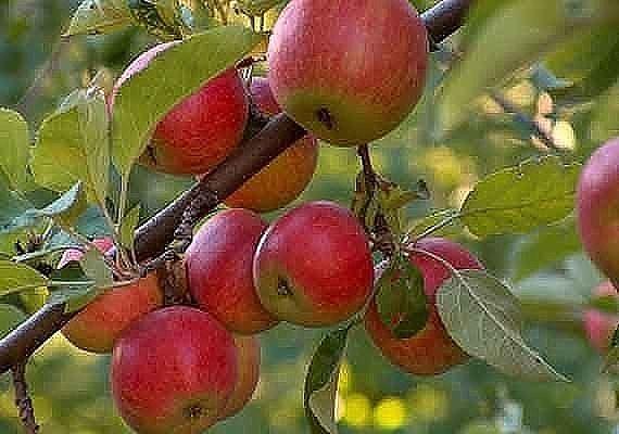яблоня (570x400, 44Kb)