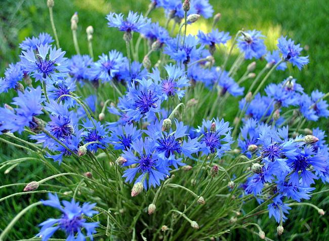 Цветы васильки и картинки