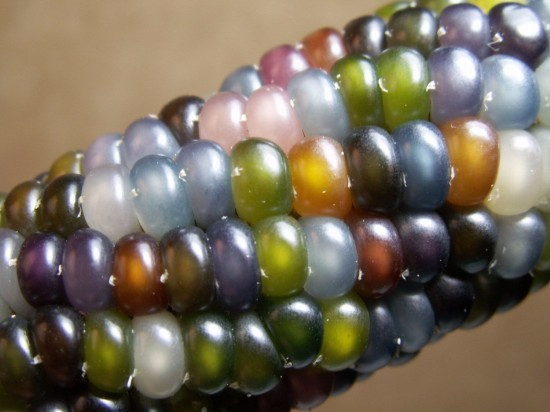 кукуруза1 (550x412, 177Kb)