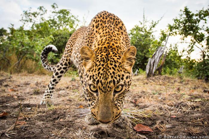 Уилл Баррард-Лукас — фотограф дикой природы из Великобритании (700x467, 193Kb)