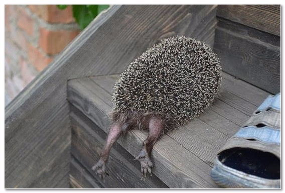 hedgehog-tired_1 (568x384, 185Kb)