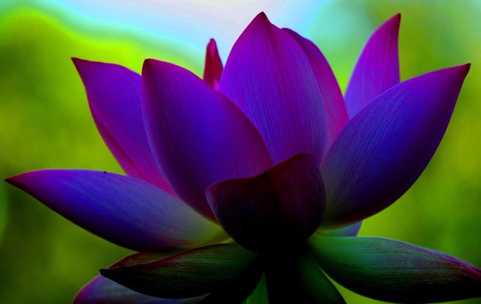 08081009530815_lotus_flower_ss (700x443, 302Kb)