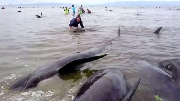 самоубийство китов в новой зеландии 3 (624x351, 106Kb)
