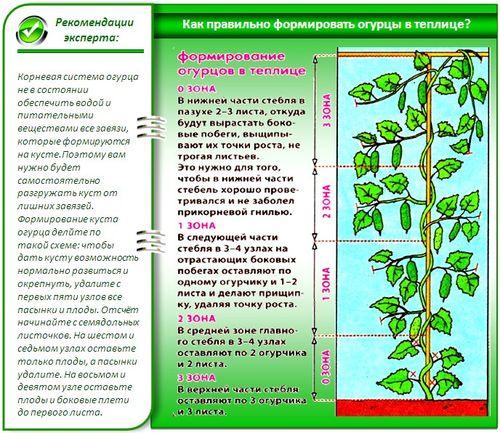 texnologiya_posadki_ogurcov_v_teplice_7 (500x433, 80Kb)