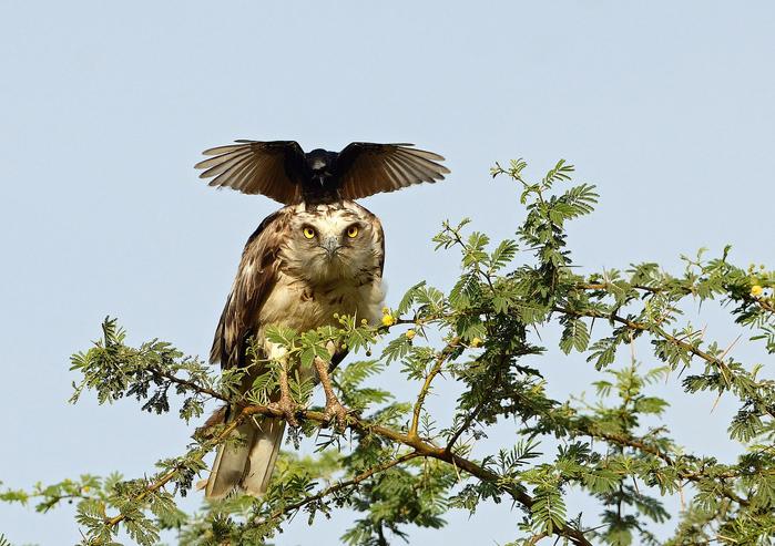 ворона троли орла фото 1 (700x493, 432Kb)