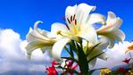 Превью lilies-wallpaper-1366x768 (700x393, 200Kb)