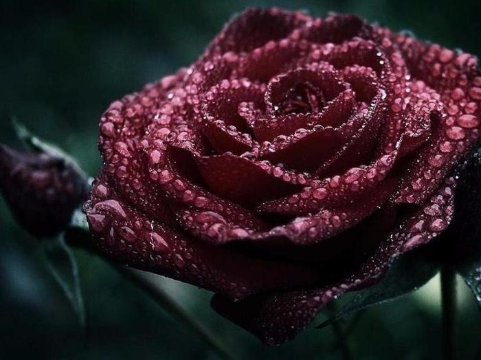 1078184-1024x768-dark-roses-11662646-1280-800jjpeg (700x525, 302Kb)