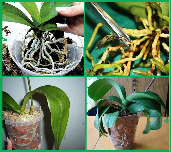 орхидея пересадка (559x497, 660Kb)