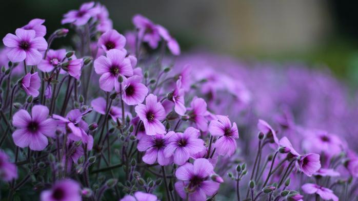 www.GetBg.net_Nature___Flowers_Delicate_flowers_geranium_095849_ (700x393, 305Kb)