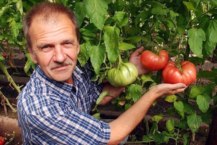 помидоры1 (700x468, 468Kb)